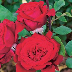 Rose Sir Donald Bradman (pbr)