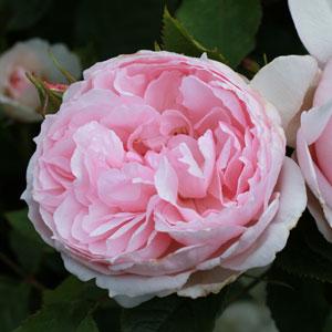 Rose The Wedgwood Rose (pbr)