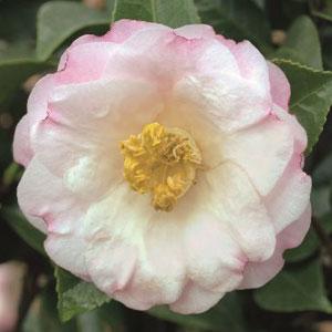 Camellia Dr Tinsley