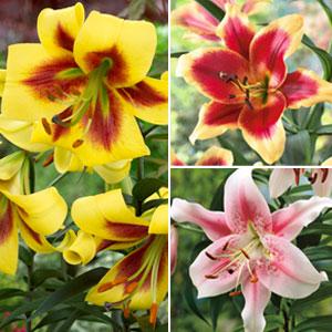 Lilium Oriental Trumpet Bi-colour Coll