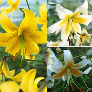Lilium Oriental Trumpet Gold Coll
