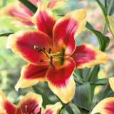 Oriental Trumpet Lilium Red Morning