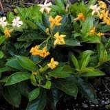 Native Frangipani Gold Nugget