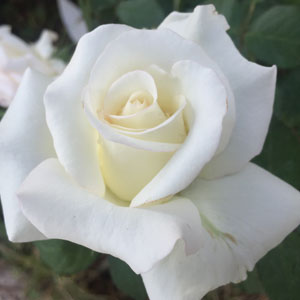 Rose John F Kennedy