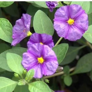 Solanum Potato Vine Blue