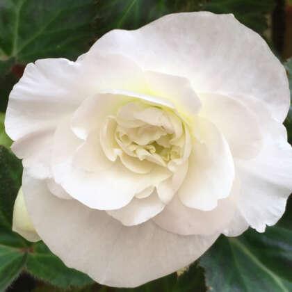 Begonia White 2021 Pkbegwhi - Garden Express Australia