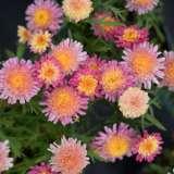Argyranthemum Fairy Floss (pbr)