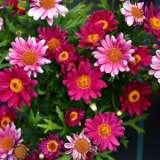 Argyranthemum Super Circus