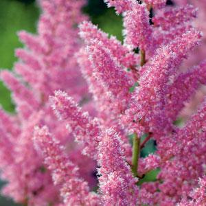 Astilbe Vision In Pink