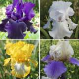 Bearded Iris Collection – 4 Plants