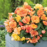 Begonia Illumination Golden Picotee