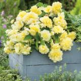 Begonia Illumination Lemon