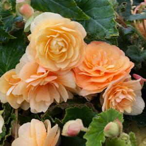 Begonia Illumination Peaches & Cream
