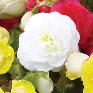 Tuberous Begonia White