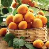 Dwarf Apricot Moorpark