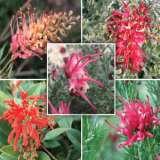 Gardening Australia Grevillea Collection