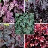 Gardening Australia Heuchera Collection