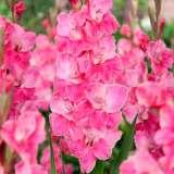 Gladioli Pink Event