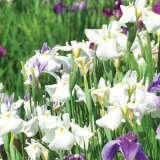 Japanese Iris Summer Snowflake