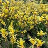 Kangaroo Paw Bush Gold
