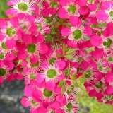 Leptospermum Daydream (pbr)