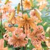 Lilium Pink Giant Pklilpgi
