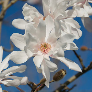 Magnolia Ballerina