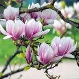 Magnolia Soulangiana 19 Tsemagsou