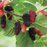 Mulberry Hicks Fancy