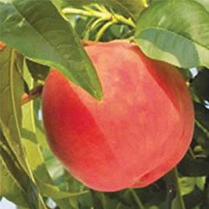 Dwarf Peach Anzac