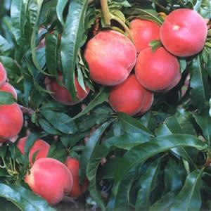 Super Dwarf Peach Valley Red