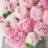 Peony Rose Miss Melbourne Pkpromme