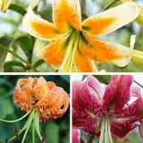 Lilium Turks Cap Collection