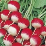 Seed – Radish Sparkler