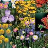 Wildflower Seed – Australian Native Mix