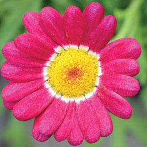 Argyranthemum Summit Red