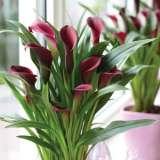 Calla Lily Callafornia Red