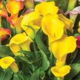 Calla Lily Gold Crown