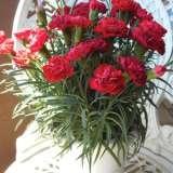 Carnation Crimson Tempo Pplcarcte