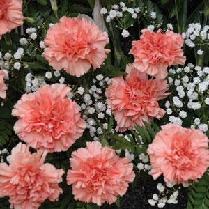 Carnation Peachy Mambo