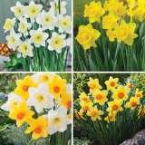 Daffodil Garden Collection Pre-order 1 X23 Bulbs