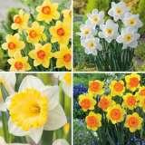Daffodil Garden Collection 2 Pre-order X 18 Bulbs