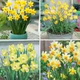 Daffodil Mini Collection- Pre-order
