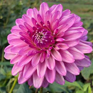 Dahlia Lavender Lady