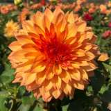 Dahlia Teddy Bear