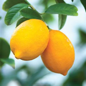 Dwarf Lemon Lisbon