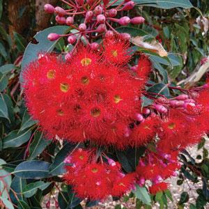 Eucalyptus Wildifre Ppleucwfi
