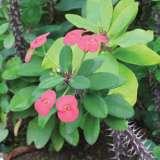 Euphorbia Dwarf Dark Pink