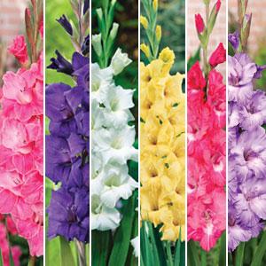 Gladioli Spring Collection 1 – 30 Bulbs