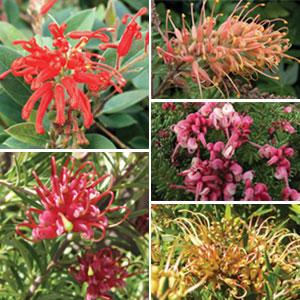 Grevillea Spring Collection 5 Plants